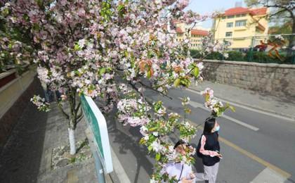 青岛宁武关路:西府海棠香艳八大关