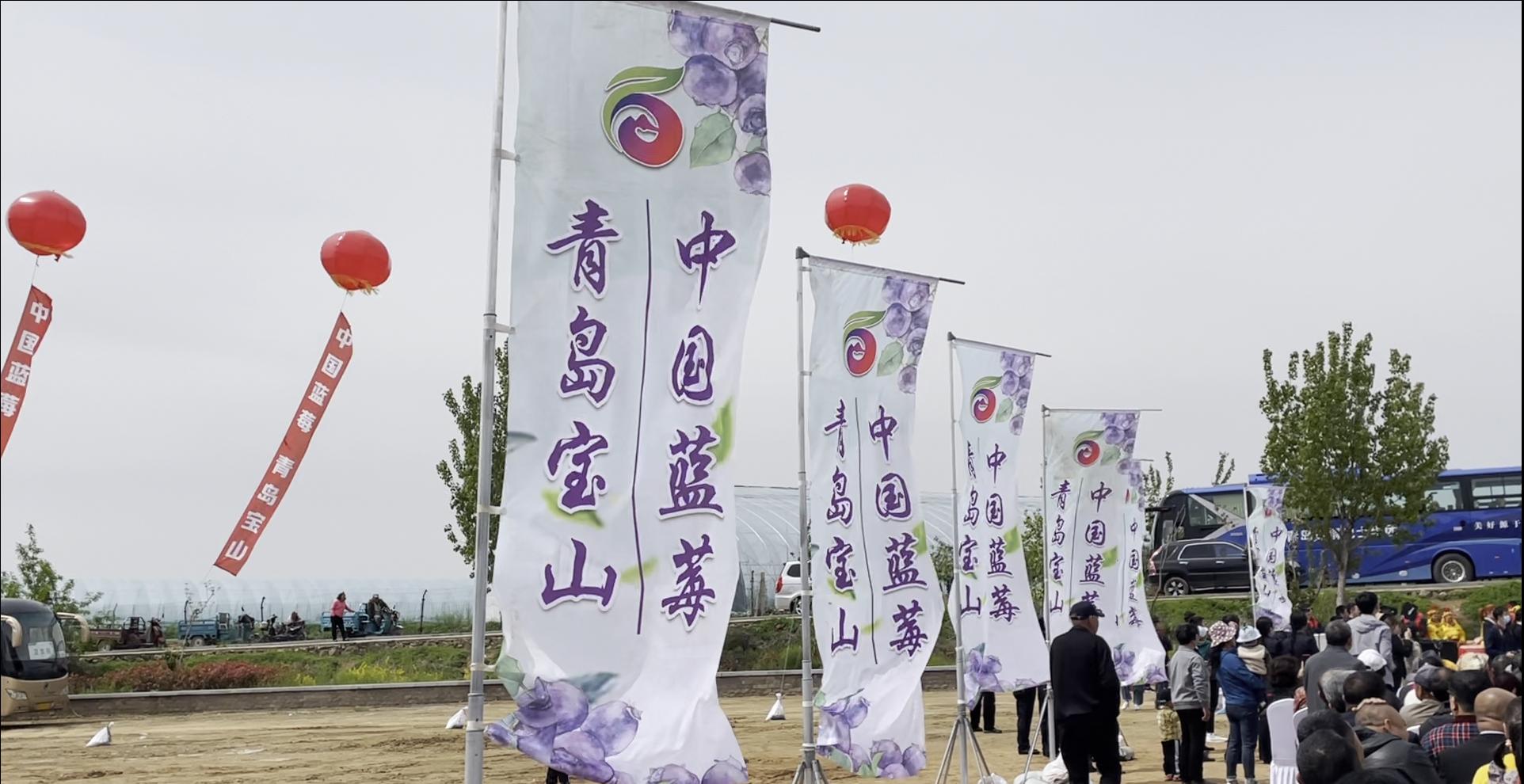 """2021""""黄岛蓝莓季""""青岛西海岸新区蓝莓采摘节启动"""