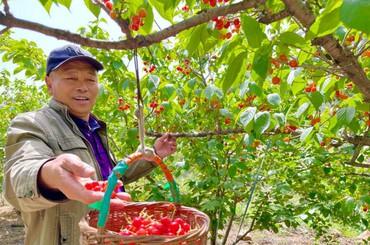 山色峪的樱桃熟了!本周末可入园开摘