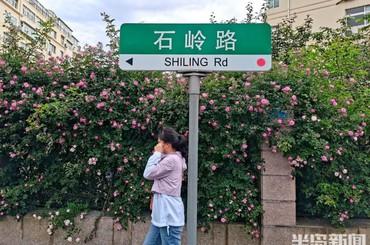 崂山区石岭路:蔷薇花开 携夏而来
