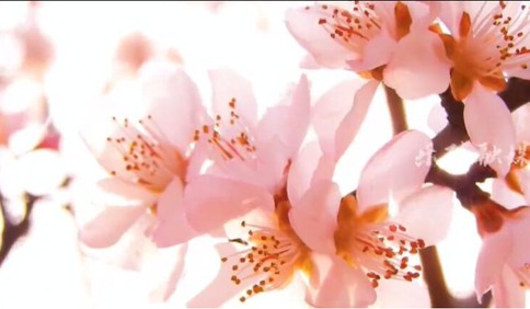 第一百个春天|春花开红冀鲁边