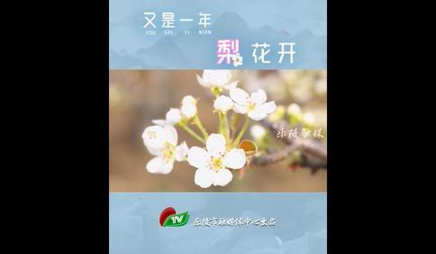 第一百个春天|又是一年梨花开