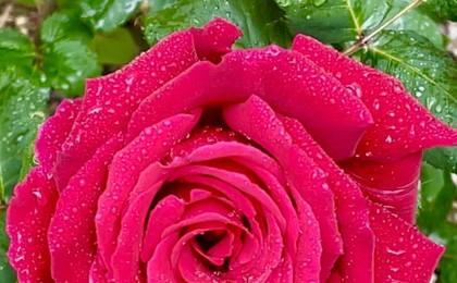 青岛:小雨如约至 花开红艳艳