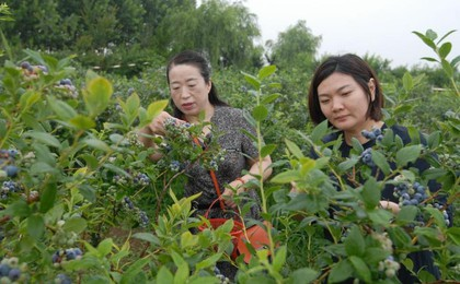 即墨藍莓豐收季,農戶采摘忙
