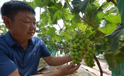 """莱西""""绿玫瑰""""葡萄将上市 鲜脆多汁自带香气"""