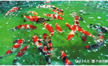 济南锦鲤养成记:游向全国各地 年产值达1.1亿元